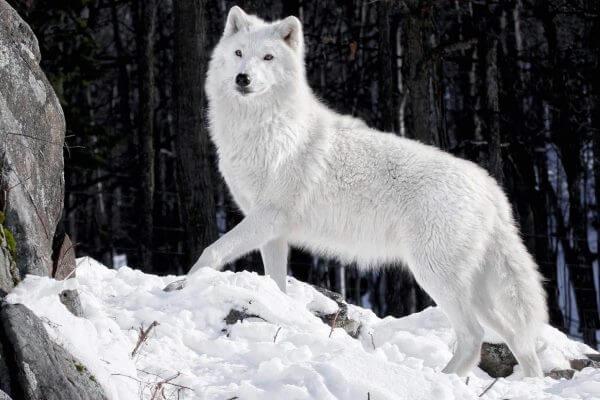 Dónde vive el lobo blanco polar o ártico