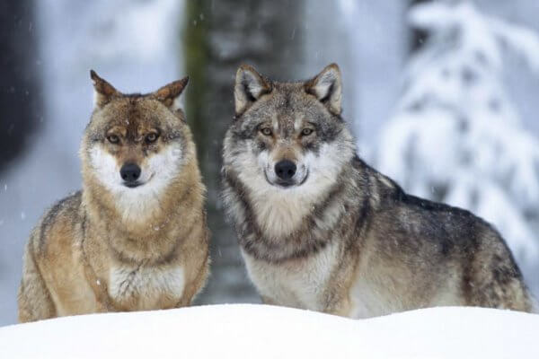hábitat del lobo gris americano
