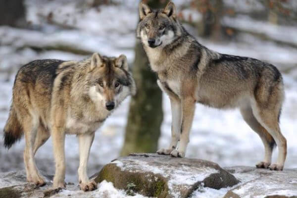 dónde vive el lobo gris europeo