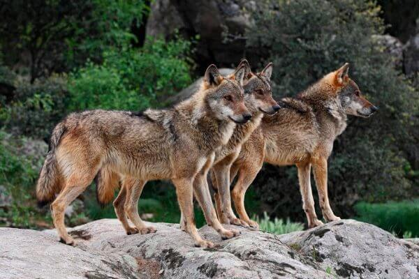 dónde vive el lobo ibérico