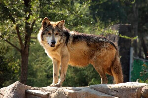 dónde vive el lobo mexicano