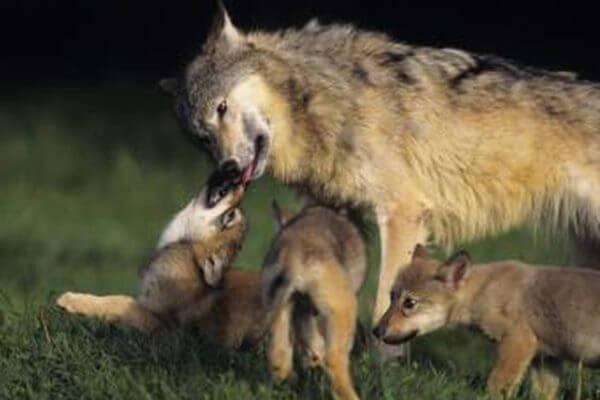 hábitat del lobo