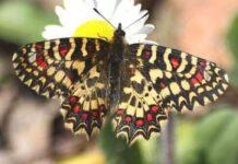 Mariposa arlequín o de las Aristoloquias