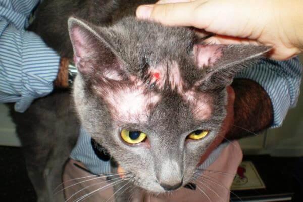 detectar síntomas sarna felina
