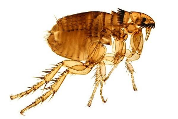 Cómo son las pulgas de gato - Imagen pulga de gato