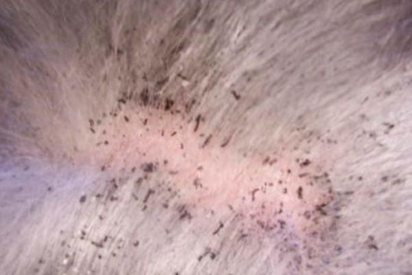 como ver las pulgas en un gato