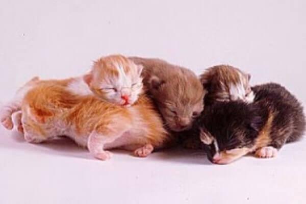 con cuanto tiempo abren los ojos los gatos