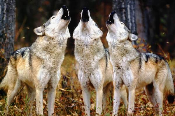 dónde habitan los lobos