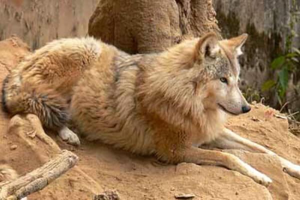 dónde viven los lobos Himalayos