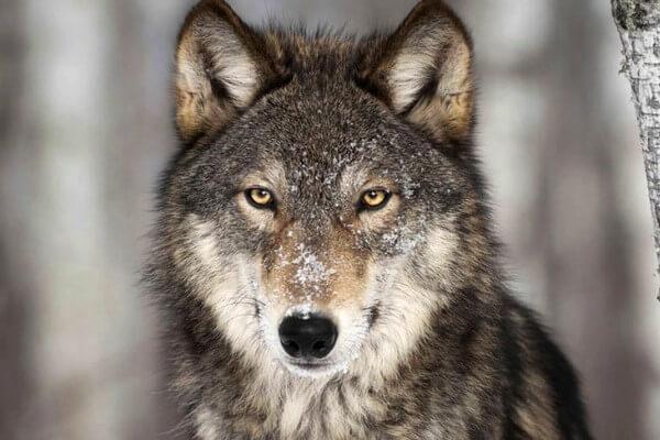 dónde vive el lobo