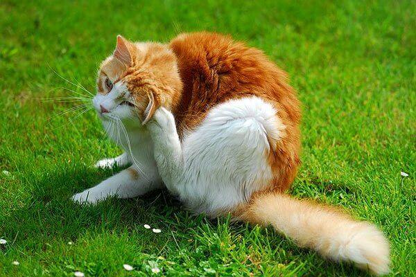 Cómo desparasitar a un gato