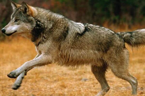 hábitat natural del lobo