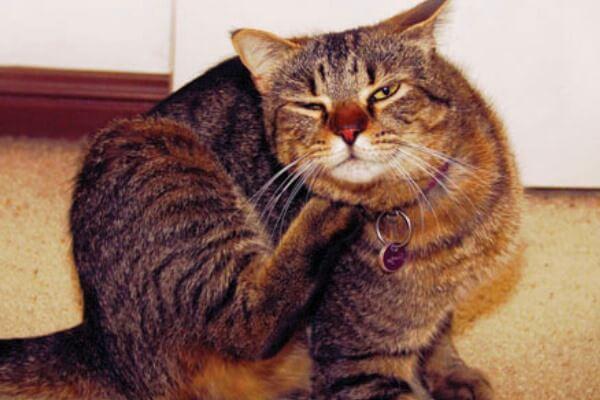 contagio tiña gatos