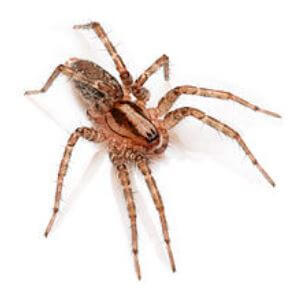 Araña del desierto