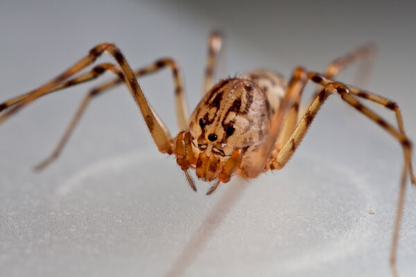 arañas escitóditos