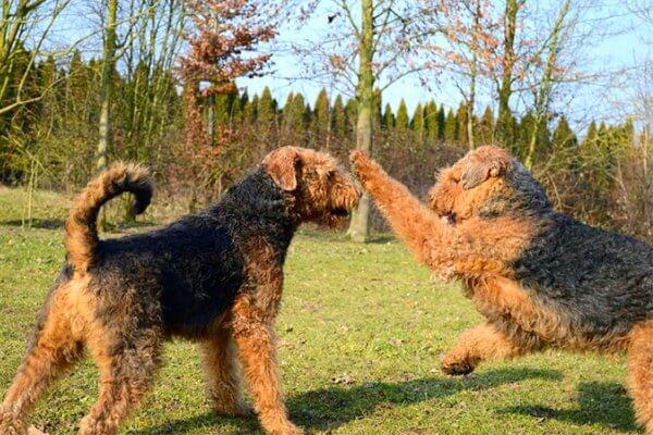 cómo adiestrar airedale terrier