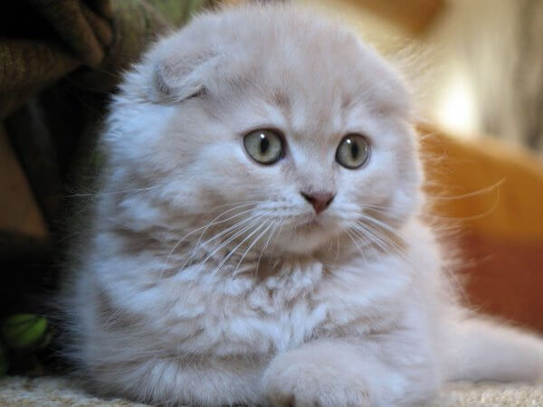qué come scottish fold