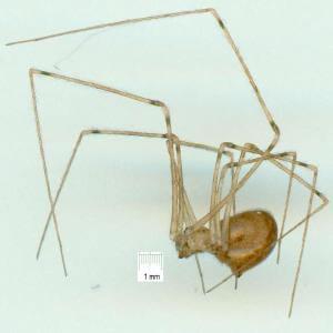 Physocyclus globosus