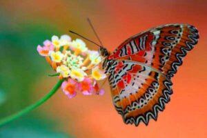 cómo distinguir mariposas