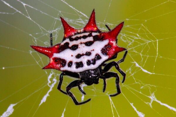 cómo es una araña