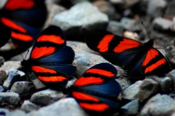 clasificación de las mariposas