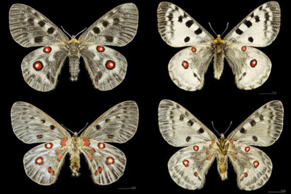 propiedades mariposa apolo