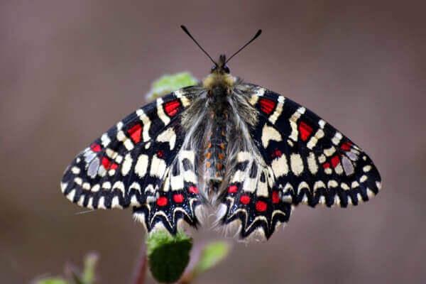 cómo es la mariposa arlequín
