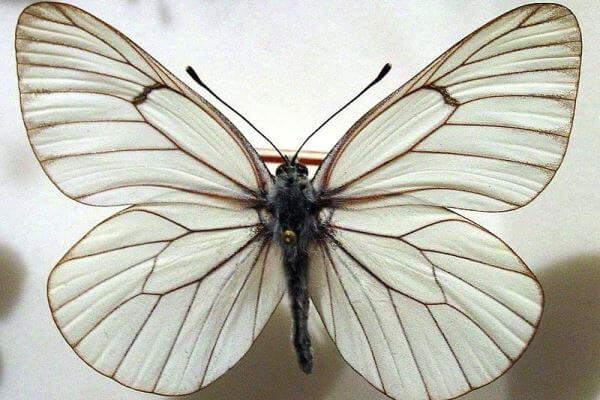 propiedades mariposa blanca del majuelo