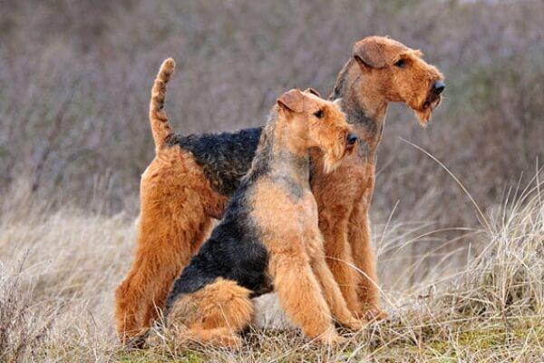 Características airedale terrier