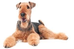 aspecto físico airedale terrier