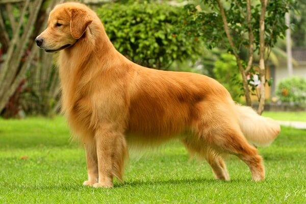 Golden retriever carácter