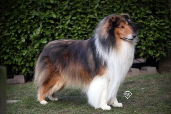 físcico del rough collie