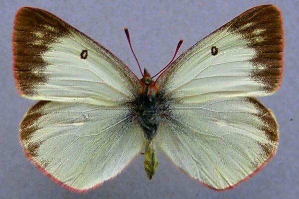 propiedades mariposa Colias de los pantanos