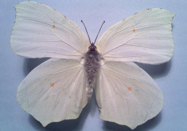 propiedades mariposa limonera