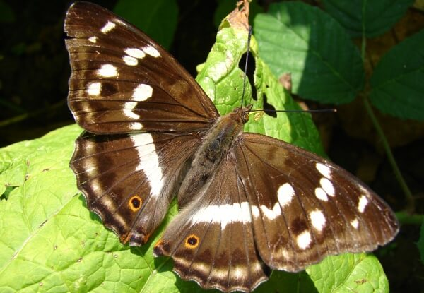 cómo es la mariposa tornasolada