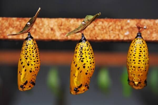 pupa de mariposa
