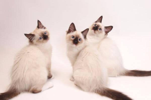 raza gato ragdoll enfermedades