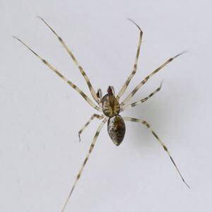 Araña invisible