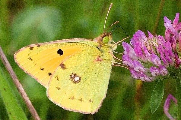 dónde vive la mariposa calias de los pantanos