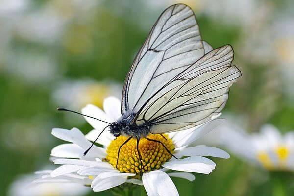 dónde vive la mariposa blanca del majuelo
