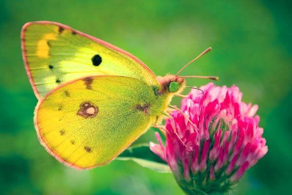 dónde vive la mariposa calias pálida