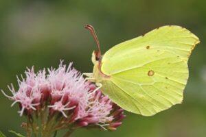dónde vive la mariposa limonera