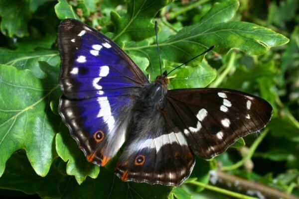 dónde vive mariposa tornasolda