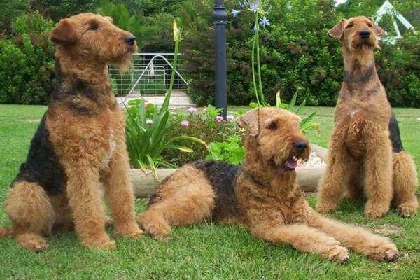 origen airedale terrier