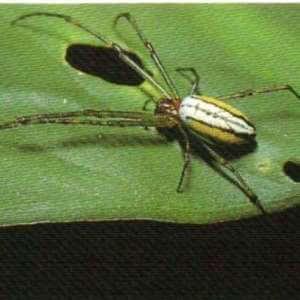 Araña de huerto con rayas negras