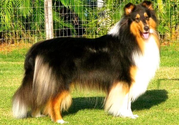 qué come rough collie
