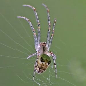 Araña tejedora común