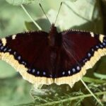 Mariposa Antiope