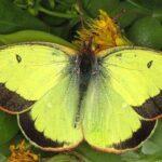 Mariposa Colias de los pantanos