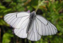 Mariposa blanca del Majuelo